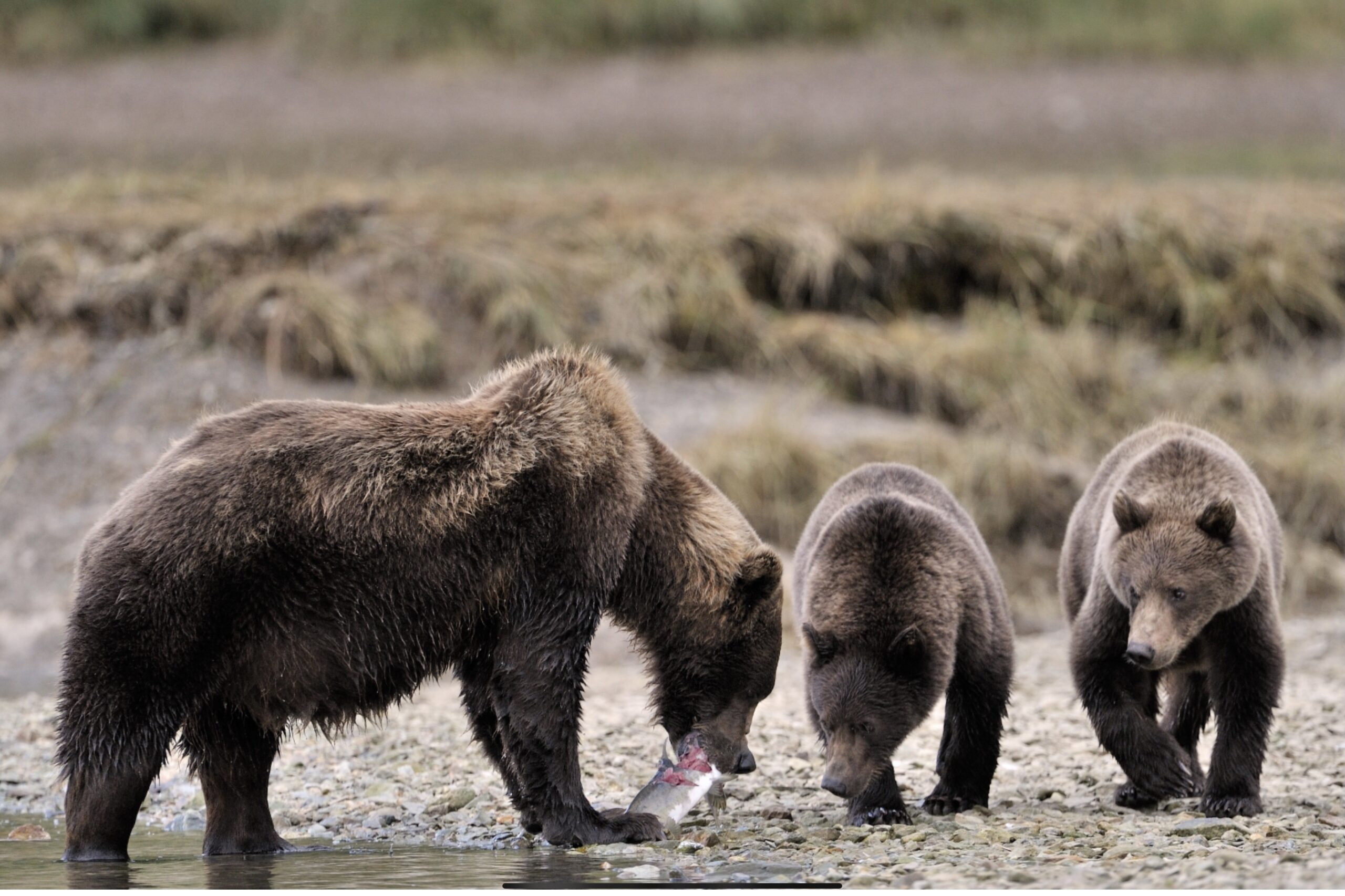 Alaska Bear Viewing Experience On Admiralty Island: The World Grizzly Capital